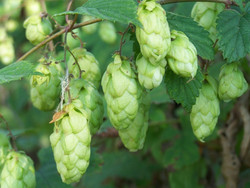 Seeds For Africa Hops - Humulus Lupulus - The Plant Beer Is Made From - Perennial Climber - 10 Seeds