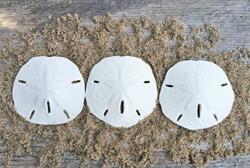 "Sand Dollar Real Sand Dollars 2 1 2"" To 3"" Set Of 3 Sand Dollar Shells Seashell Wedding Sand Dollars For Crafts Plus Free Nautical Ebook By Joseph Rains"