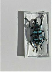 Lot Of 20 Blue Black Weevil Snout Beetle Eupholus Linnei Fast From Usa